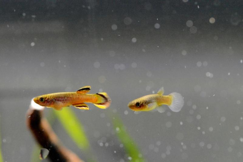Elevage des killis (Aquarium) Dsc_5711