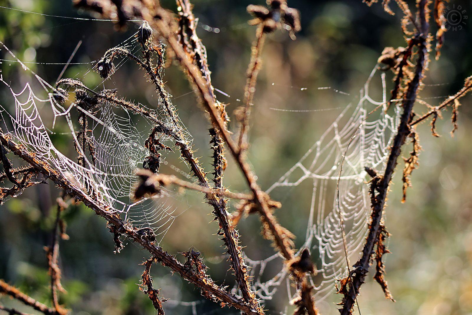 Spinnweben im Herbst 116