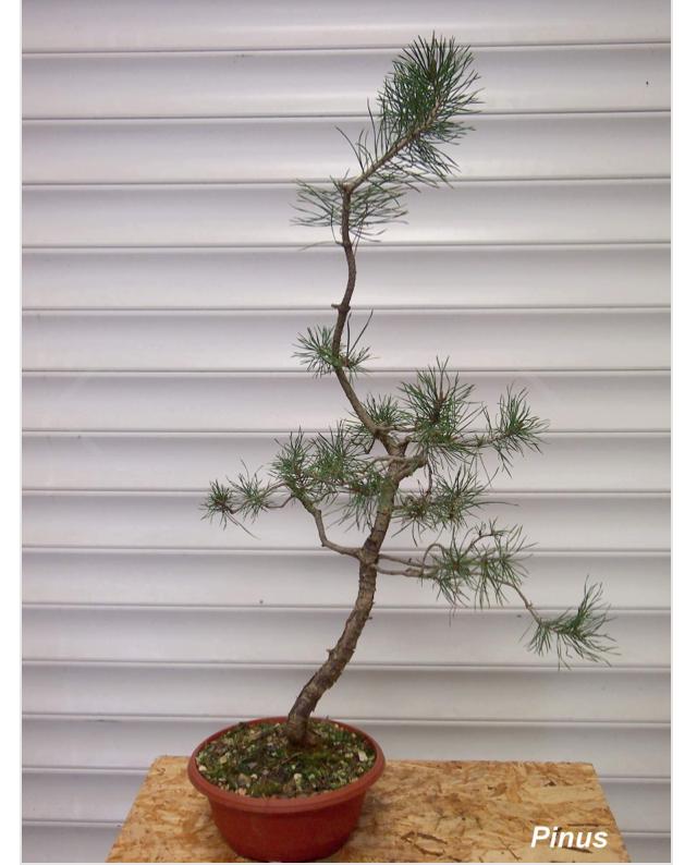 Slender Yamadori scots pine Img_0011