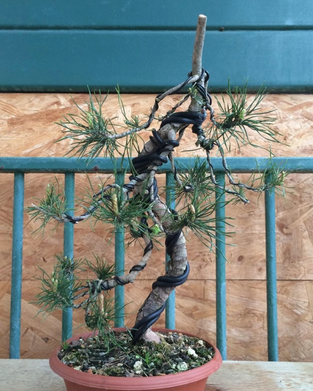 Slender Yamadori scots pine Img_0013