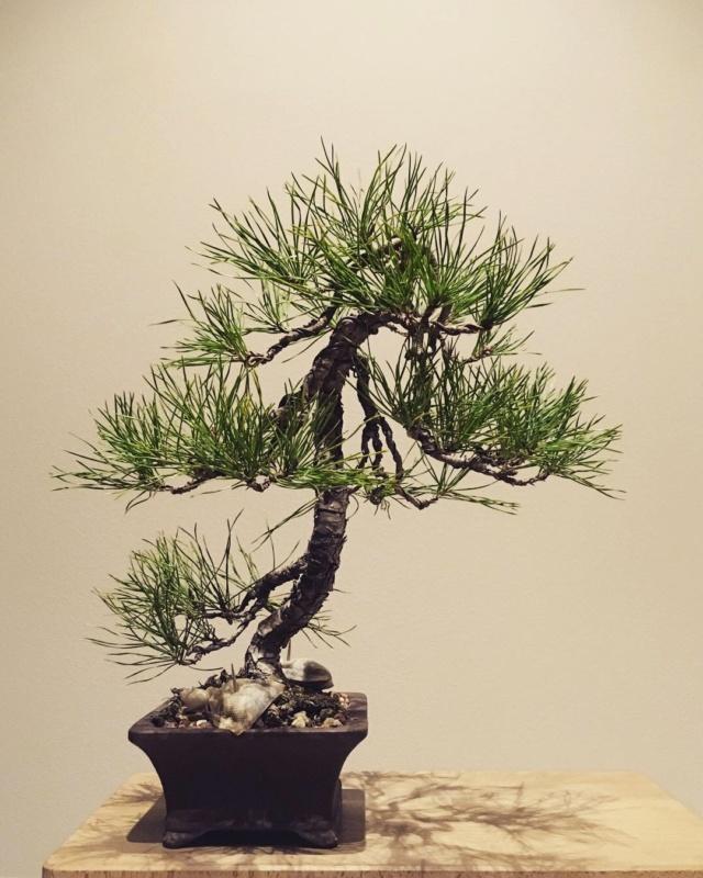 Slender Yamadori scots pine Img_0014