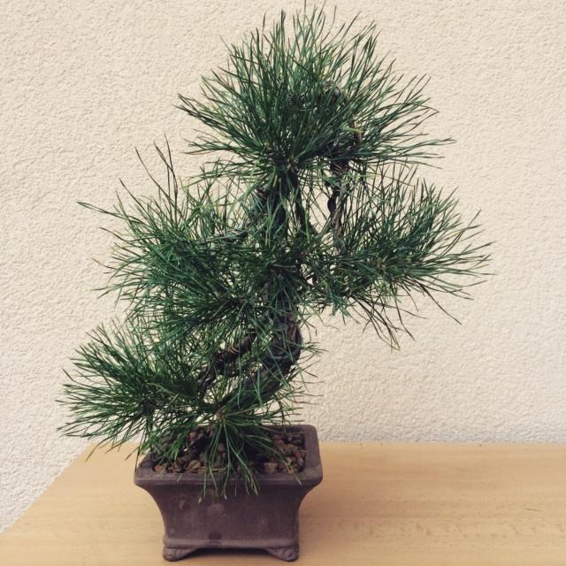 Slender Yamadori scots pine Img_2410