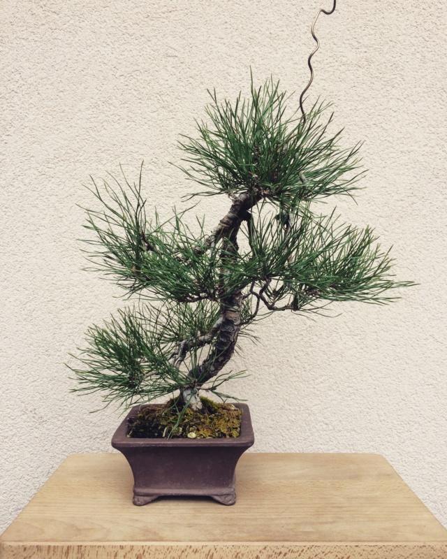 Slender Yamadori scots pine Img_3210