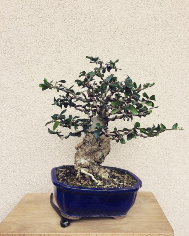 progression of chuhin sized Olive Img_3510