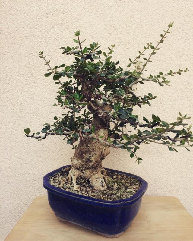 progression of chuhin sized Olive Img_3810