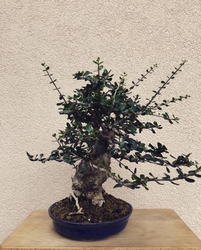 progression of chuhin sized Olive Img_3811