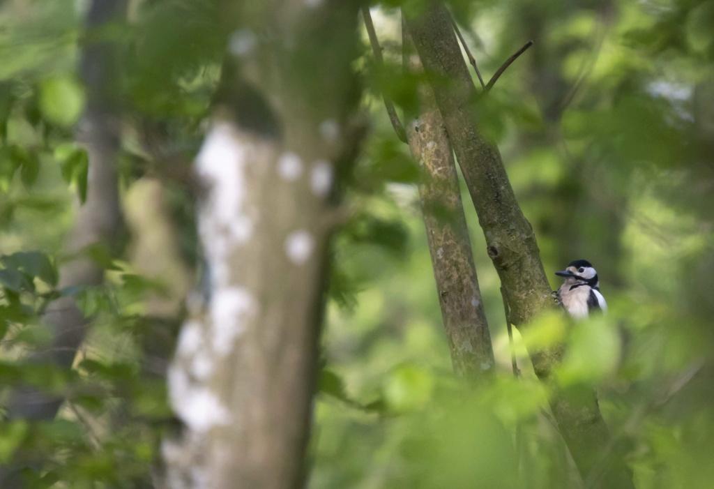 Forêt de Nieppe  Forzot23