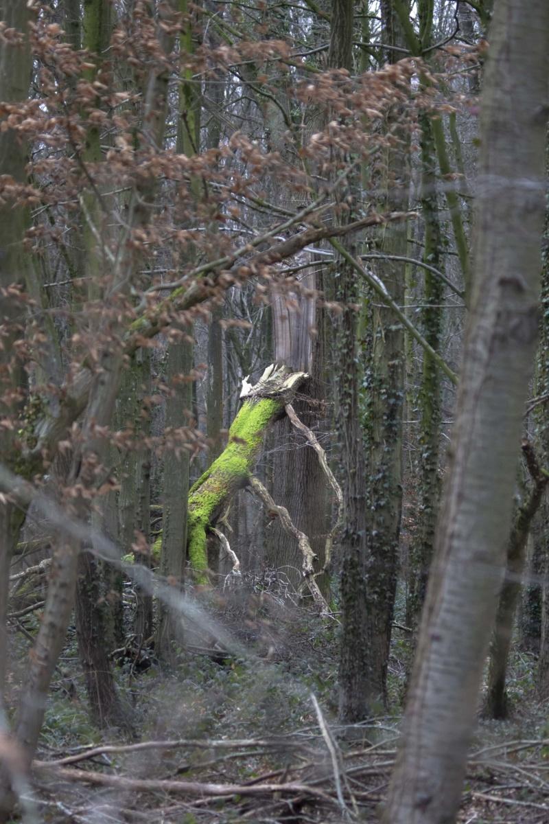 Forêt de Nieppe  Forzot33