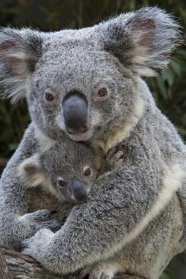 Bird feeder, new visitor Koala_10