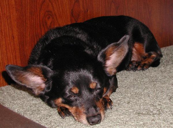 Pit Bull Terrier -  P1300010