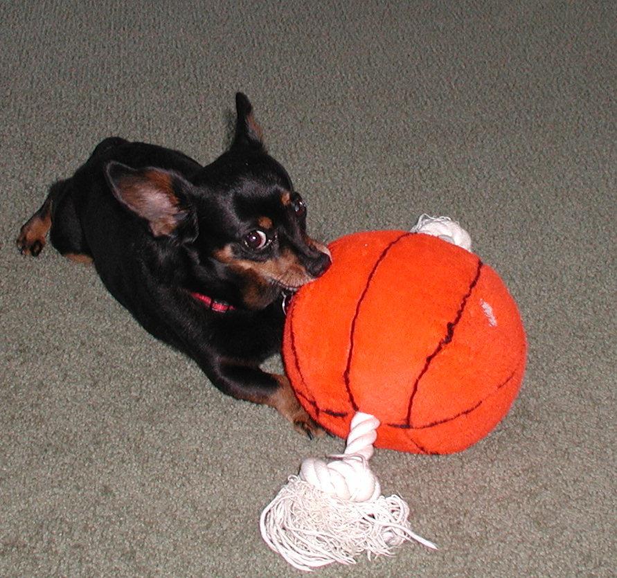 Pit Bull Terrier -  P4110010