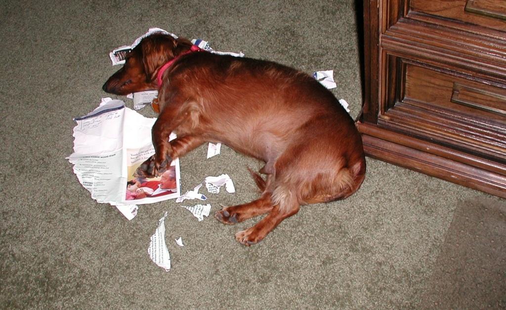 Pit Bull Terrier -  P9160013