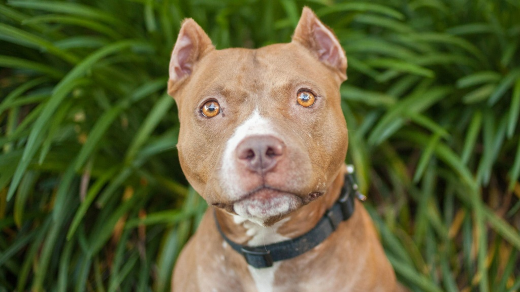 Pit Bull Terrier -  Pit_bu10