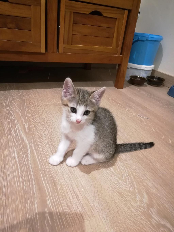 Oural, chaton blanc et gris, né le 07/05/2018 20180616