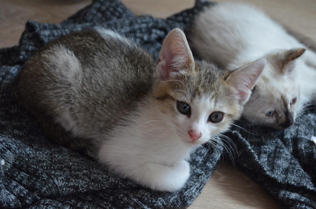 Oural, chaton blanc et gris, né le 07/05/2018 20180617