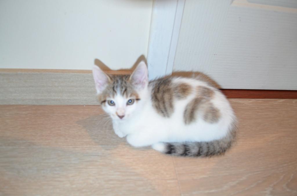 Oratio, chaton blanc gris marron tabby, type européen né le 10/07/2018 Dsc_0117