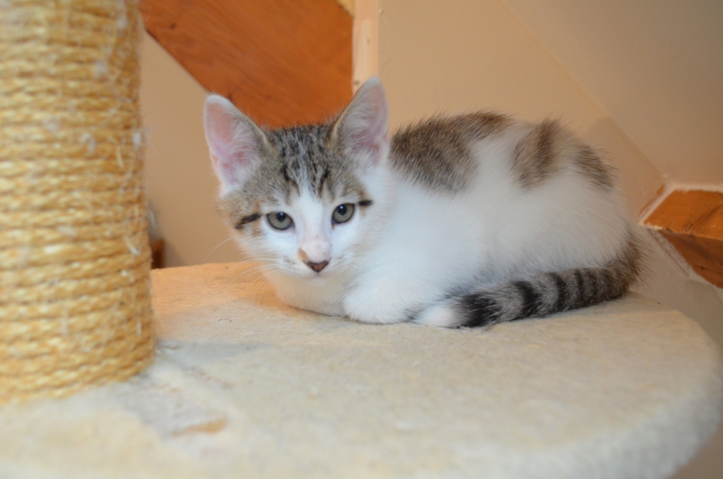 Oratio, chaton blanc gris marron tabby, type européen né le 10/07/2018 Dsc_0118