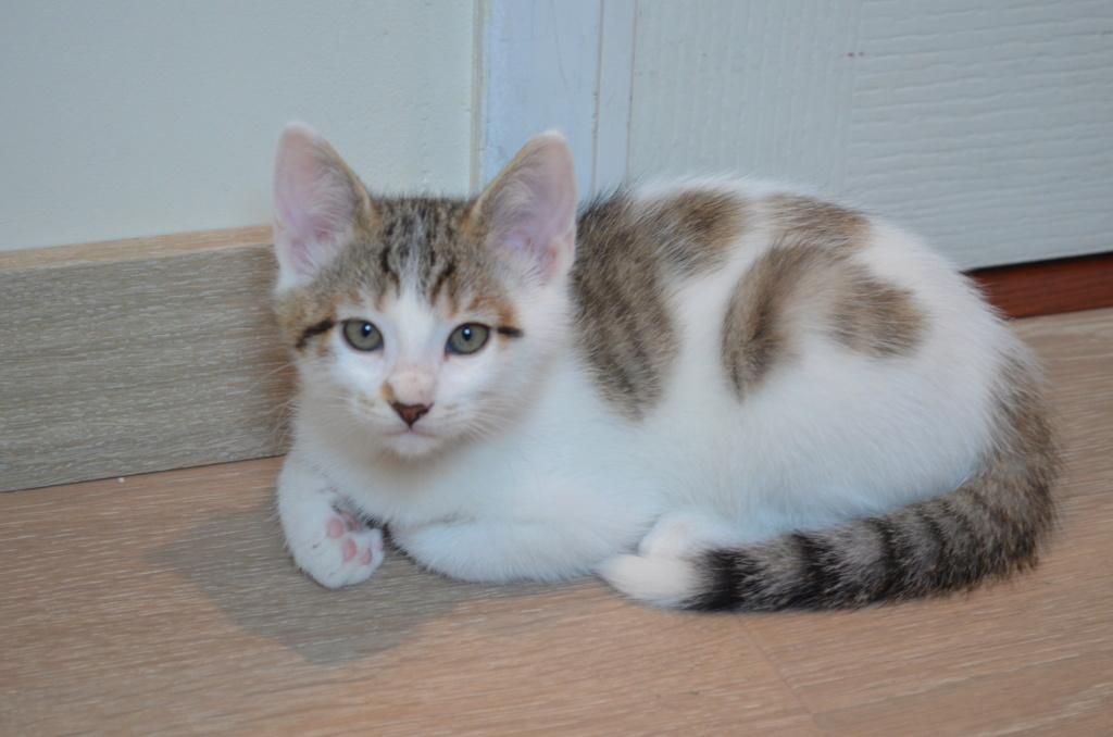 Oratio, chaton blanc gris marron tabby, type européen né le 10/07/2018 Dsc_0120