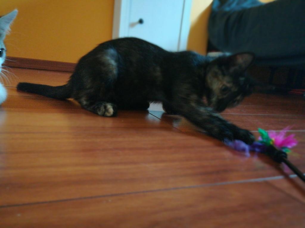 Ofélia, chattone écaille de tortue, née le 07/05/2018 Img_2019