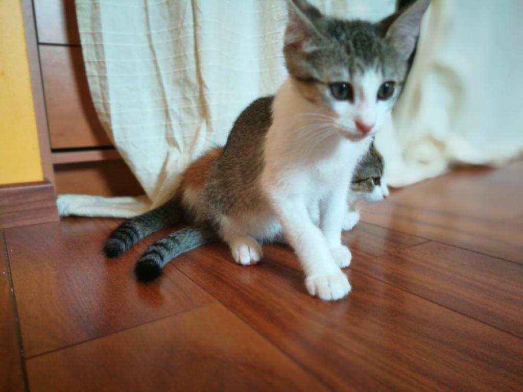 Oural, chaton blanc et gris, né le 07/05/2018 Img_2022