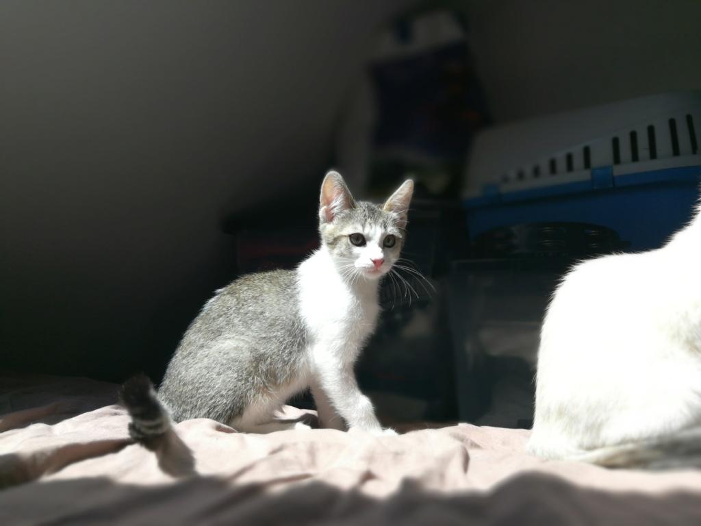 Oural, chaton blanc et gris, né le 07/05/2018 Img_2034