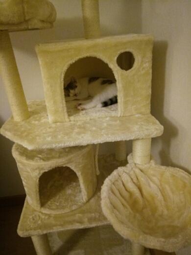 Oratio, chaton blanc gris marron tabby, type européen né le 10/07/2018 Img_2049