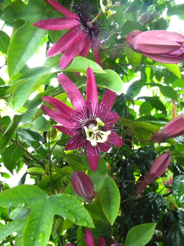 """Passiflora - Passionsblume - kleine """"Juwelen"""" - alles über Aussaat, Pflege, Vermehrung und natürlich Blütenbilder :) - Seite 31 1_dscn24"""