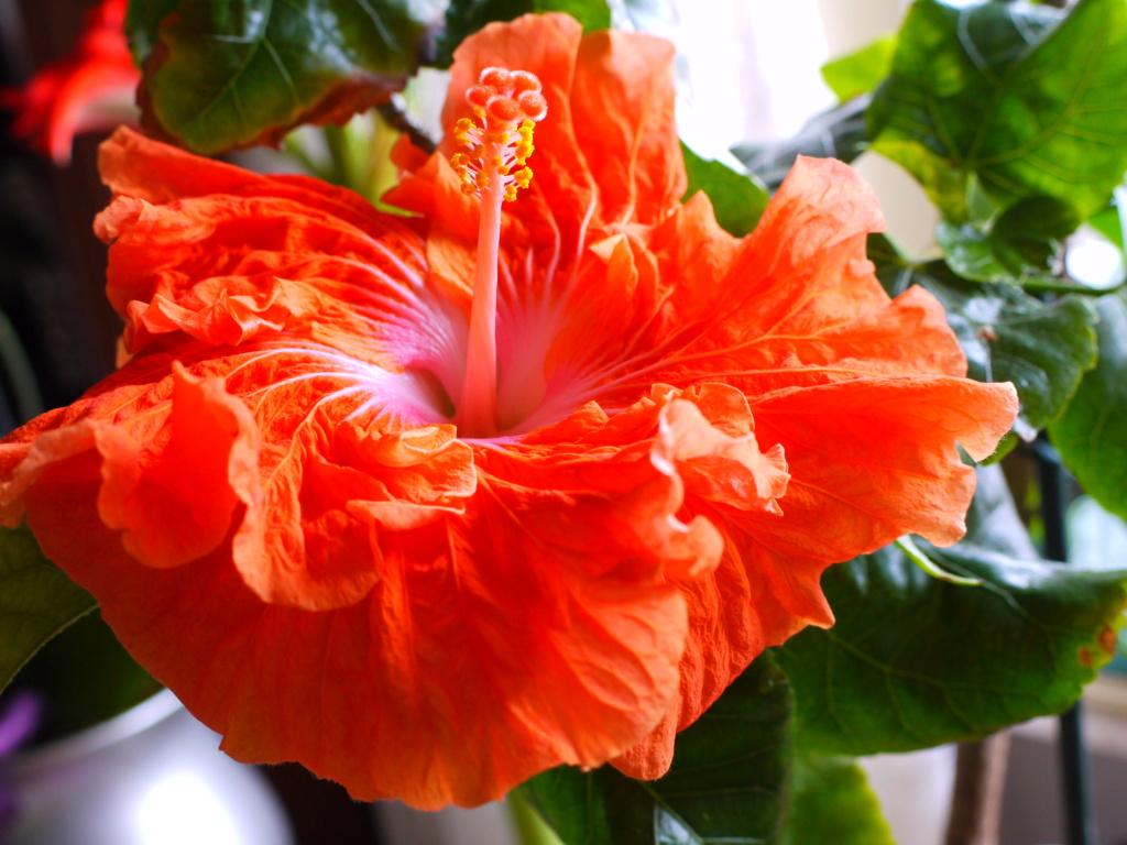 Hibiscus - alle Arten, Zuchtformen ... Erfahrungsberichte, Aussaat und selbstverständlich Bilder :) - Seite 17 1_p10820