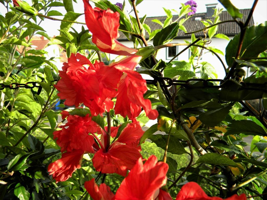 Hibiscus - alle Arten, Zuchtformen ... Erfahrungsberichte, Aussaat und selbstverständlich Bilder :) - Seite 20 2_dscn36