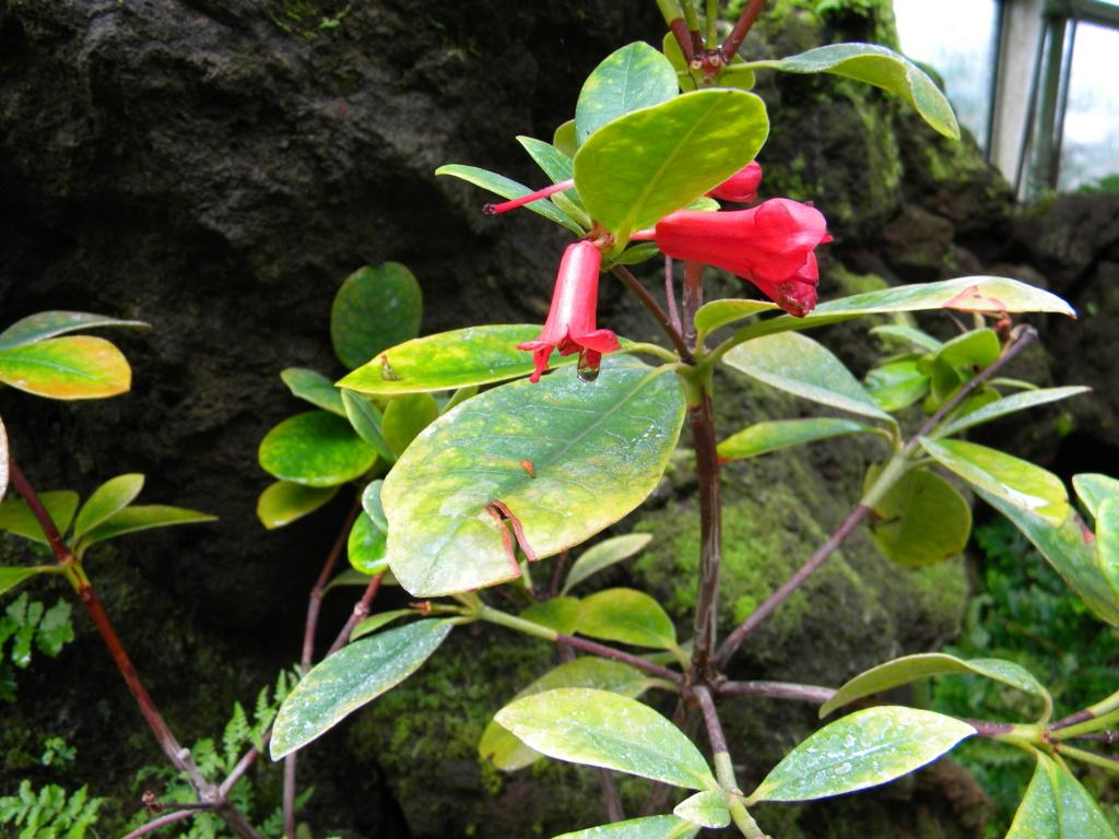 Ericaceae 3_dscn15