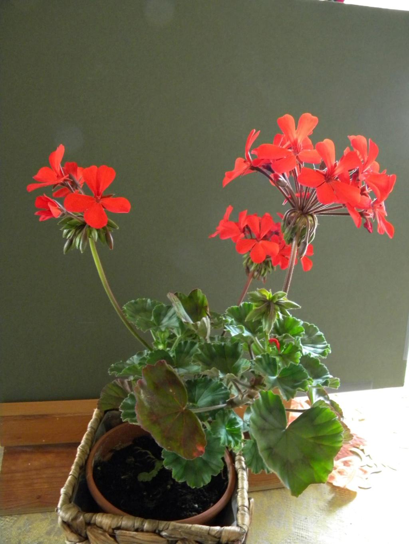 Pelargonium - Pelargonien - alle nichtsukkulenten Arten und Sorten - Aussaat - Stecklinge - Seite 21 4_dscn40