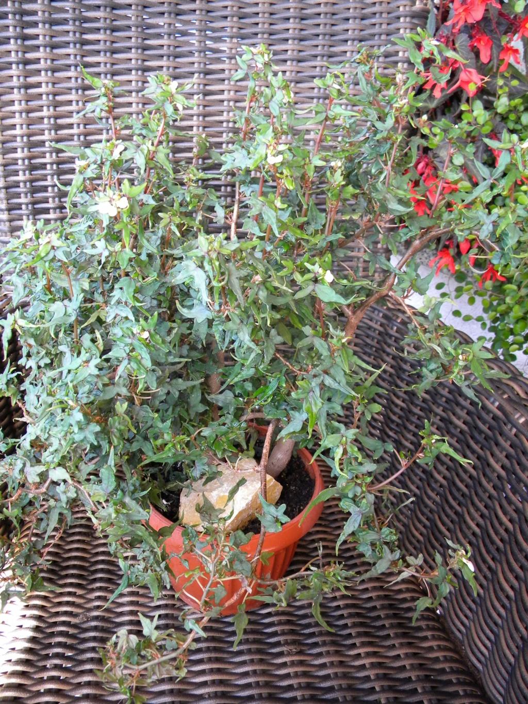 Begonia - Begonien - Seite 5 4_dscn70