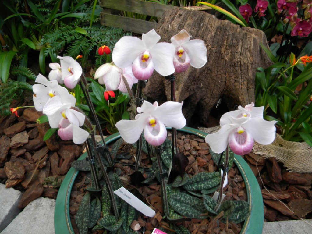 Orchideen-Ausstellungen aus aller Welt - Seite 4 Dscn0011