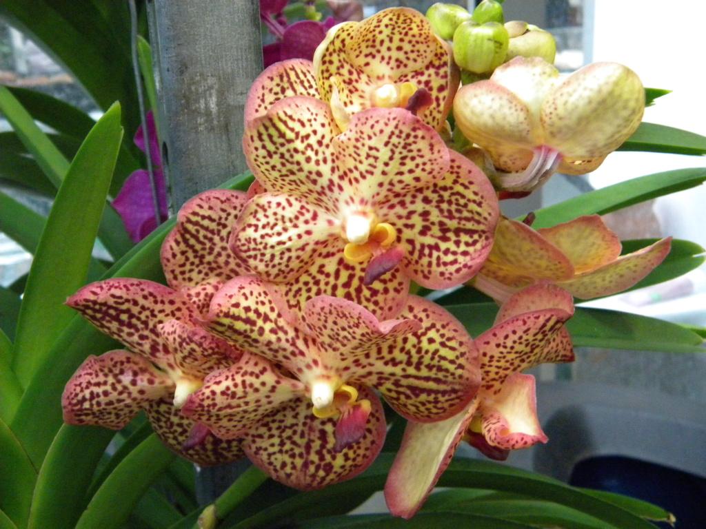 Orchideen-Ausstellungen aus aller Welt - Seite 4 Dscn0111