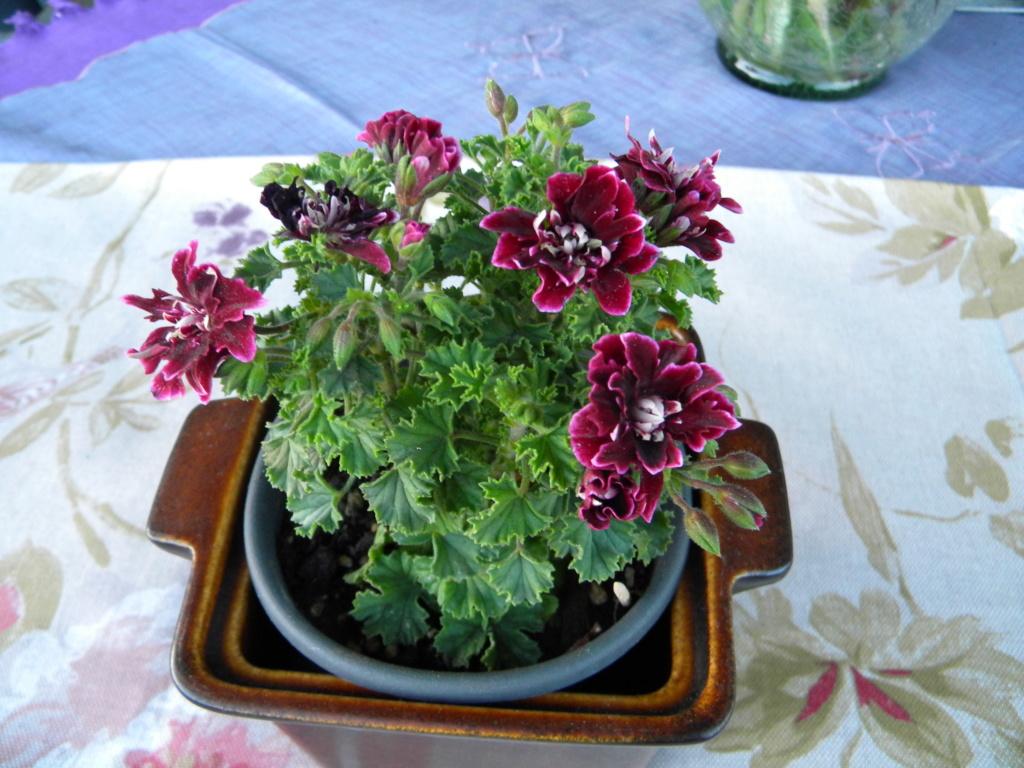 Pelargonium - Pelargonien - alle nichtsukkulenten Arten und Sorten - Aussaat - Stecklinge - Seite 22 Dscn0312