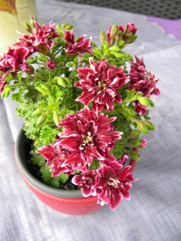 Pelargonium - Pelargonien - alle nichtsukkulenten Arten und Sorten - Aussaat - Stecklinge - Seite 22 Dscn0411