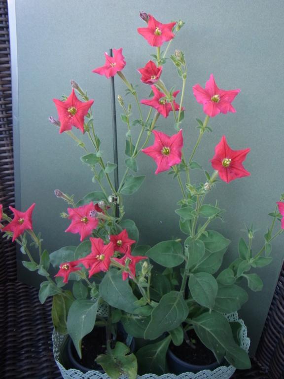 Solanaceae (Nachtschatten) - Tomaten & Chili, aber auch Petunien und andere Schönheiten - Seite 4 R0010310