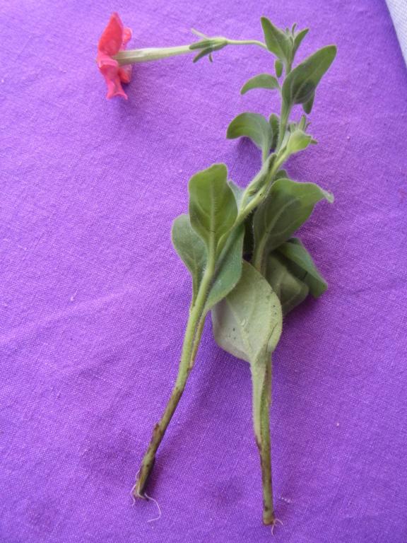Solanaceae (Nachtschatten) - Tomaten & Chili, aber auch Petunien und andere Schönheiten - Seite 4 R0010510