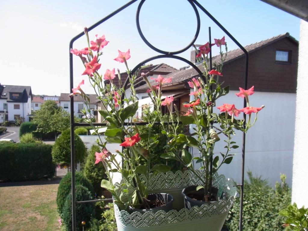 Solanaceae (Nachtschatten) - Tomaten & Chili, aber auch Petunien und andere Schönheiten - Seite 4 R0010711