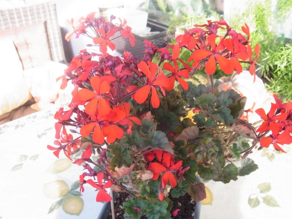 Pelargonium - Pelargonien - alle nichtsukkulenten Arten und Sorten - Aussaat - Stecklinge - Seite 21 R0010912