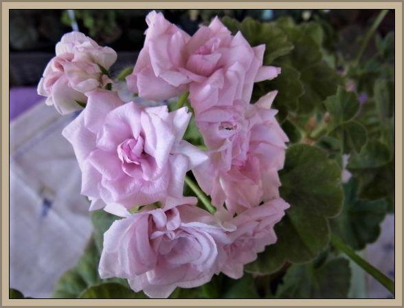 Pelargonium - Pelargonien - alle nichtsukkulenten Arten und Sorten - Aussaat - Stecklinge - Seite 22 R0012410