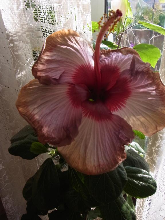 Hibiscus - alle Arten, Zuchtformen ... Erfahrungsberichte, Aussaat und selbstverständlich Bilder :) - Seite 17 R0013518