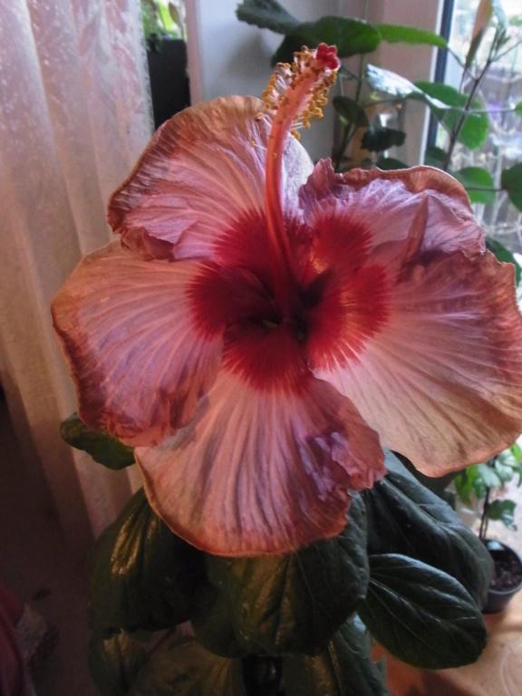 Hibiscus - alle Arten, Zuchtformen ... Erfahrungsberichte, Aussaat und selbstverständlich Bilder :) - Seite 17 R0013519