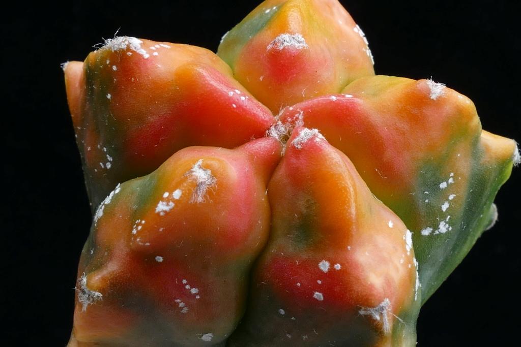 Cultivar Astrophytum myriostigma cv. KIKKO variegata  P1180610