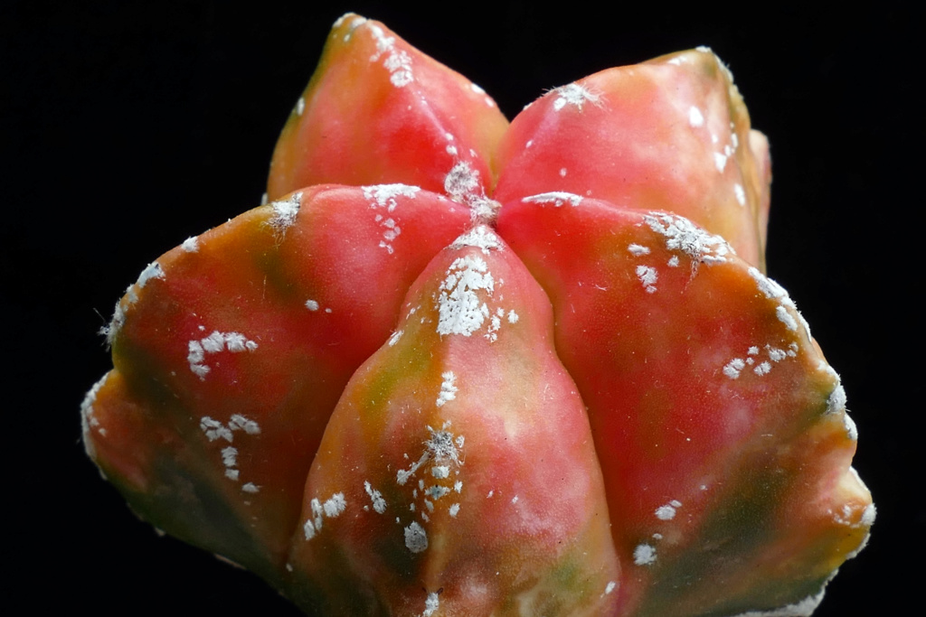 Cultivar Astrophytum myriostigma cv. KIKKO variegata  P1180611