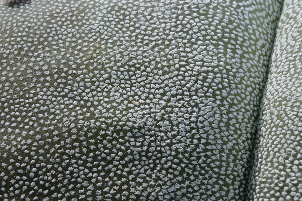 Wollflocken bei Astrophytum   P1270216