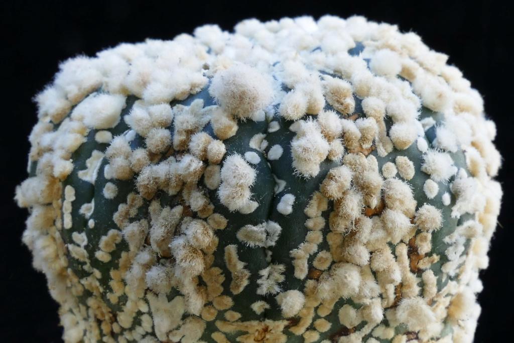Cultivar Astrophytum asterias cv. HANAZONO P1280412