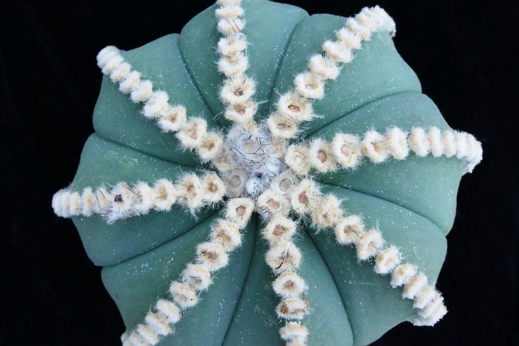 Hybride Astrophytum myriostigma var. nudum x Astrophytum asterias P1390610