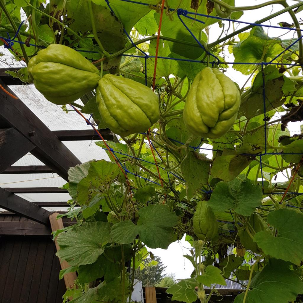 Kürbisgewächse - Cucurbitaceae: Melonen, Gurken, Kürbisse und Zucchini - alle Verteter der nichtsukkulenten Arten - Seite 17 20191010