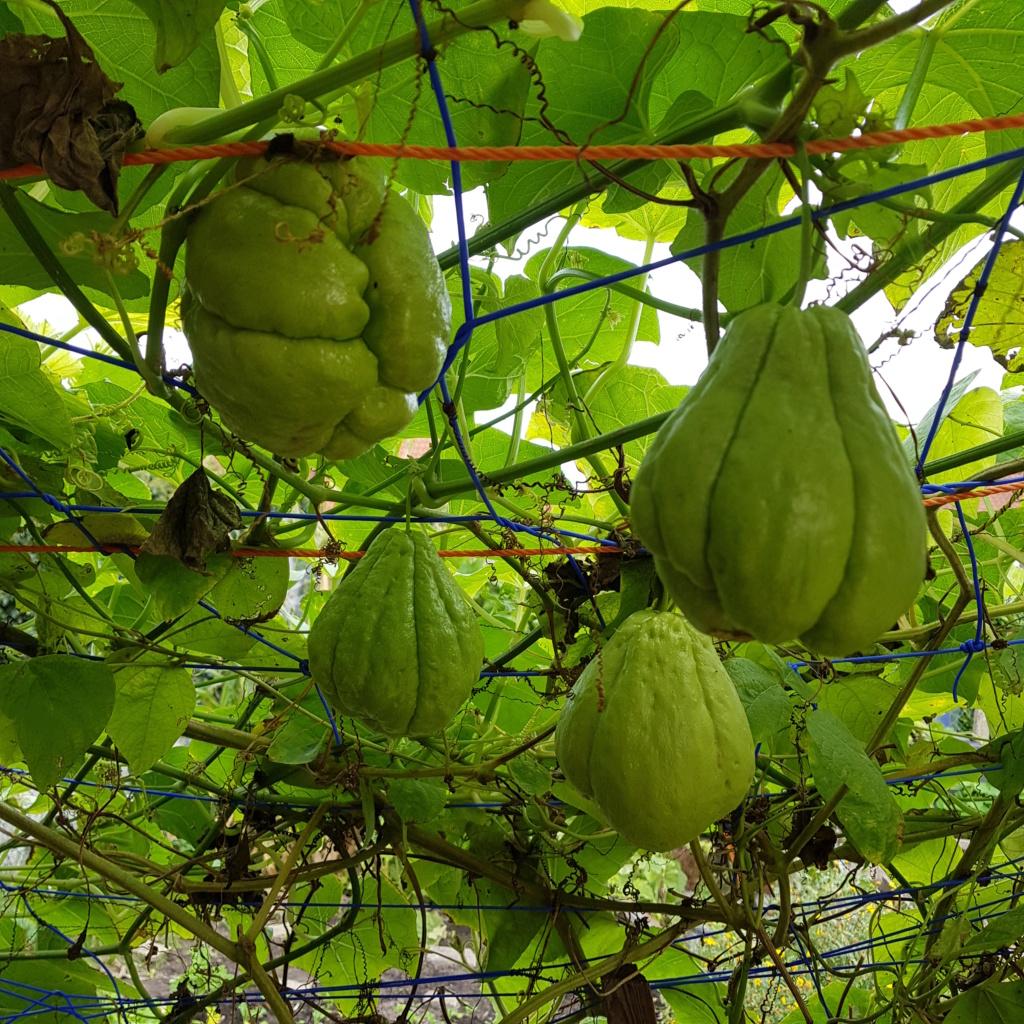 Kürbisgewächse - Cucurbitaceae: Melonen, Gurken, Kürbisse und Zucchini - alle Verteter der nichtsukkulenten Arten - Seite 17 20191011